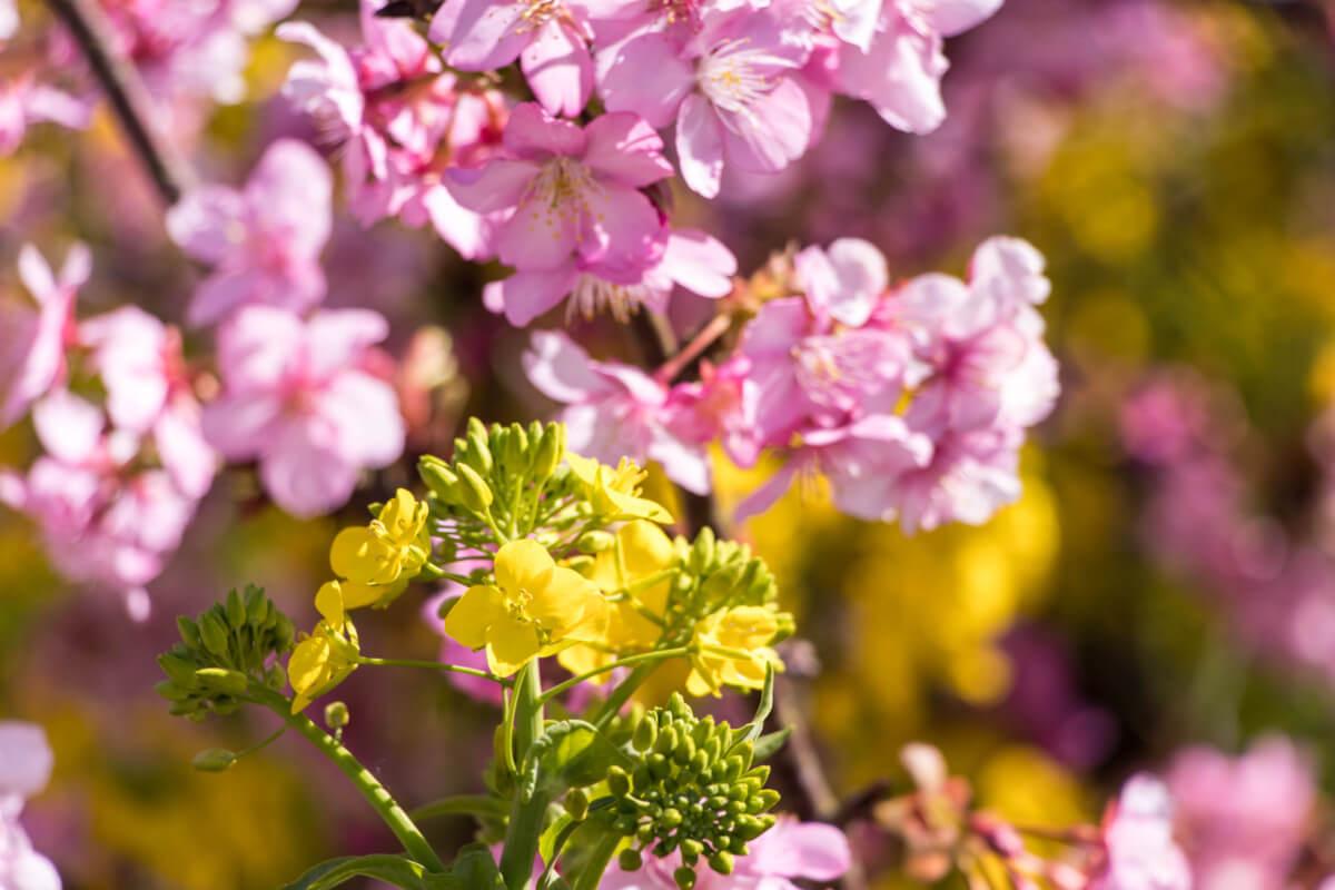 河津町【河津桜と菜の花】